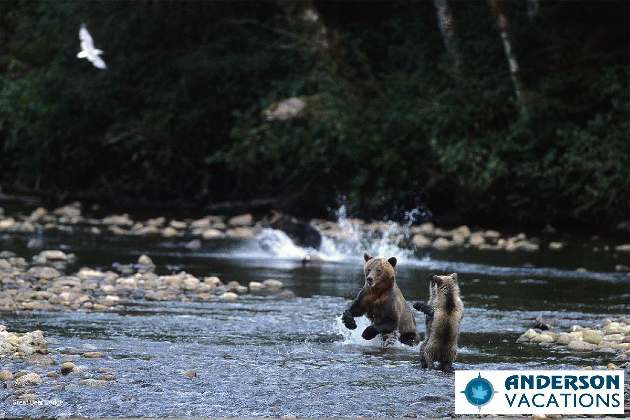 Bears in their natural environment catching salmon