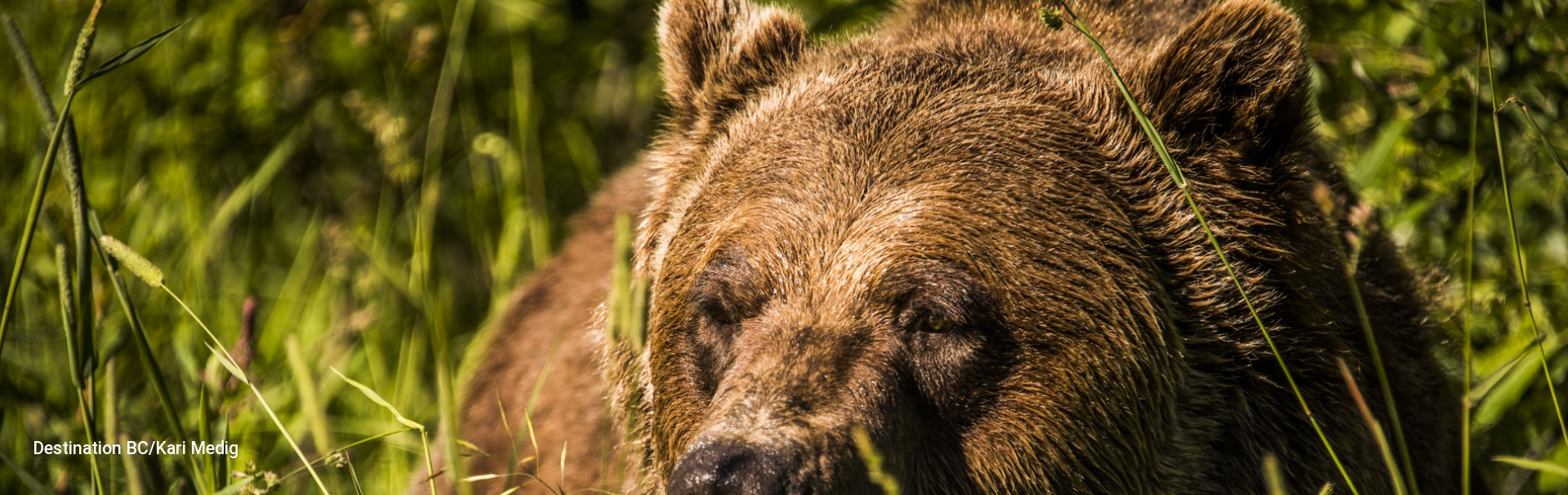 Grizzly Bear at Kicking Horse Mountain Resort